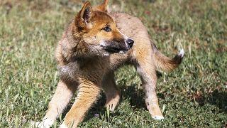 Avustralya'da ilginç olay: Gökten düştü, köpek zannedildi, dingo olduğu anlaşıldı