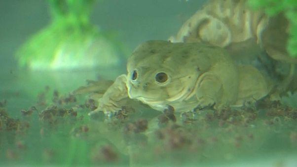 Cómo salvar a la milagrosa rana gigante del Titicaca