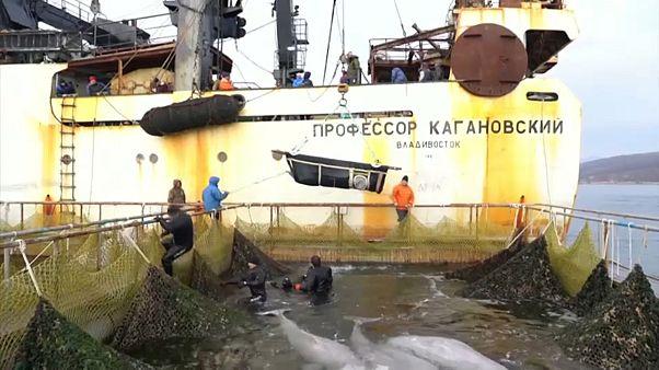 Fin du calvaire pour les mammifères marins retenus en Extrême-Orient russe