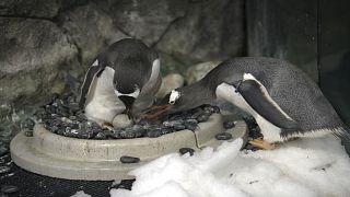 Eşcinsel penguenler yeniden baba olmaya hazırlanıyor
