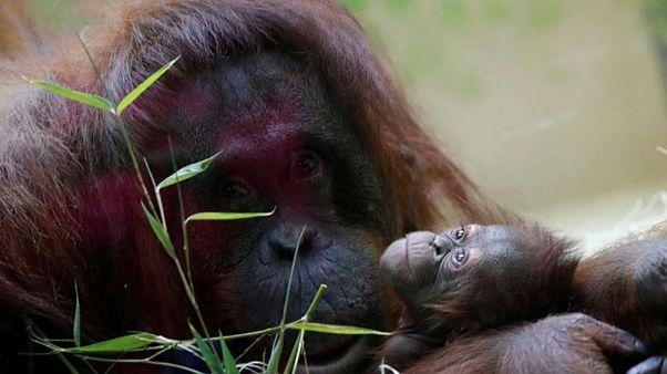 'İnsan olmayan kişi' orangutan Sandra ABD'deki yeni adresine taşındı