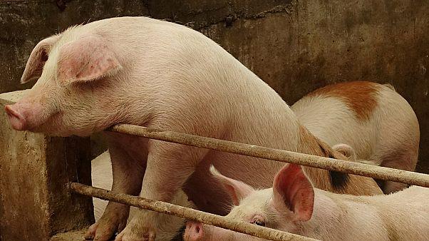 Ecologistas suecos recomiendan no comprar carne de cerdo española