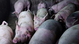 Schweinefleisch aus Spanien sollte laut WWF Schweden nicht verzehrt werden