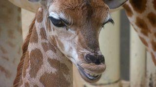 Hayvanat bahçesinde doğan yavru zürafaya yoğun ilgi