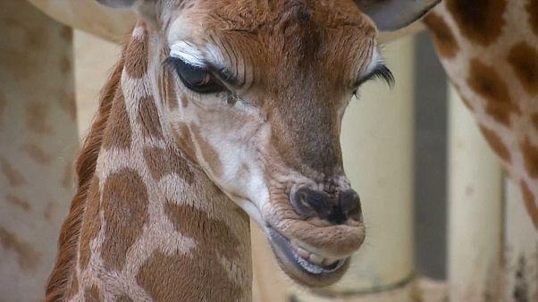 Bebé girafa em zoo da República Checa