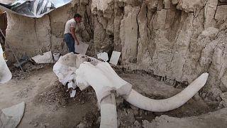العثور على بقايا 14 ماموث في حفرتين في مكان كان يتخدم مكبا للنفايات شمال العاصمة المكسيكية