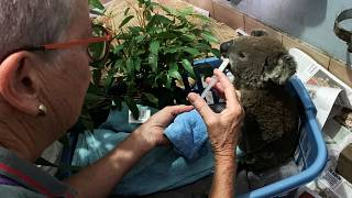 Hundreds of koalas dead as Australia battles savage bush fires