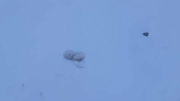 Helikopter-Rettung: Kletterer befreien norwegische Schafe aus dem Schnee