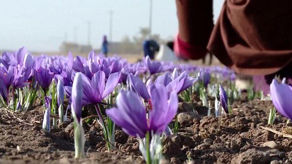 خیز چین برای ورود به تولید گلخانهای زعفران