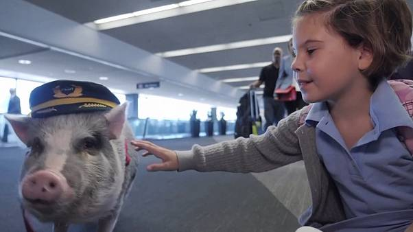 Airport therapy pig helps others to fly at San Francisco airport