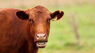 ABD: Fırtınanın sürüklediği inekler 3 kilometre yüzerek adaya çıkmış