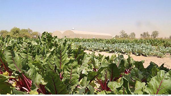 تعرف على مستقبل الزراعة في دبي