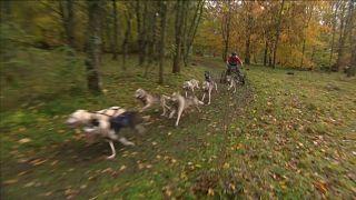 شاهد: سباق للكلاب التي تجر العربات في إنجلترا