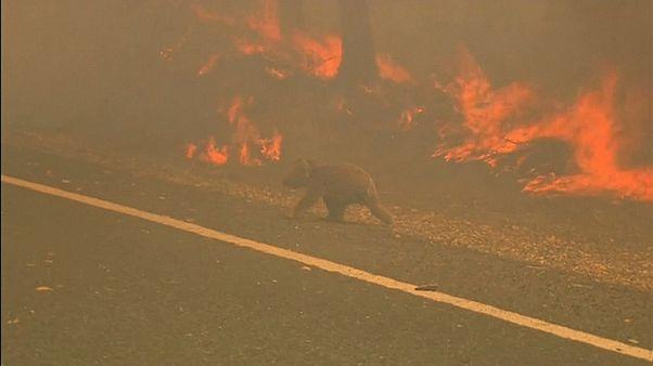 Woman endangers herself to rescue scorched koala from Australian bushfire