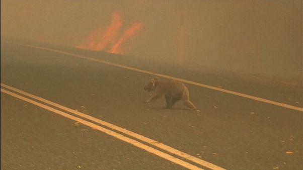 Avustralya'daki orman yangınında koalayı alevlerin arasından çekip aldı