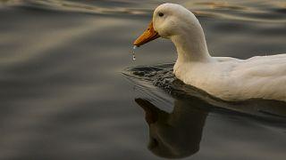 Fransız komşuların 'gürültücü ördek' davasında karar açıklandı