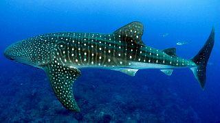 Balina köpekbalıkları ve vatozlar her gün yüzlerce parça plastik yutuyor