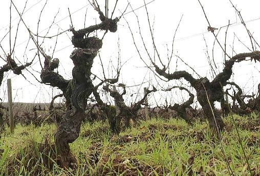 Besorgte Beaujolais-Winzer: Frost im Frühling sorgt für schlechte Weinernte