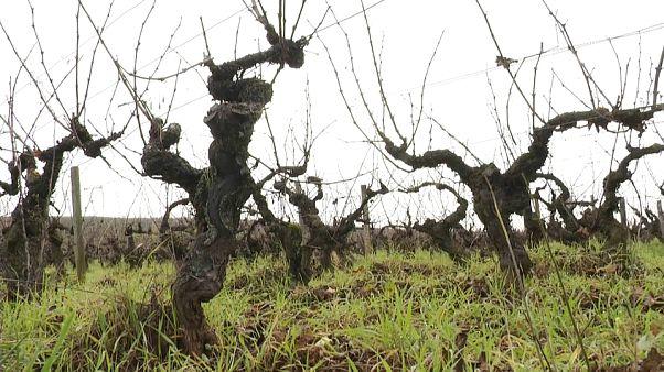 Le sfide del Beaujolais Nouveau: clima, export e dazi