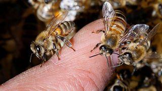 A méhek kipusztulása ellen küzd egy új európai egyesület