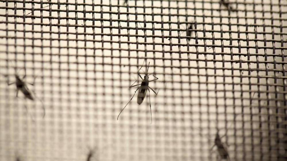 Özel bakteri ile yetiştirilerek doğaya salınan sivrisinekler dang humması hastalığını bulaştırmıyor