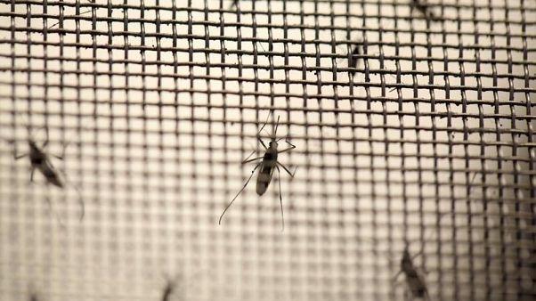 Doğaya salınmayı bekleyen sivrisinekler