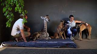 Orphanage's tall order as it helps care for abandoned baby giraffe