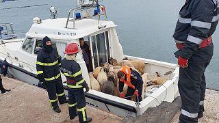 Romania, si ribalta nave che trasportava 14mila pecore