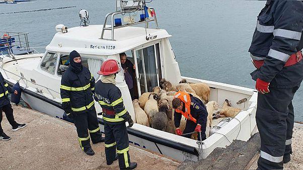 Romanya'da kargo gemisi alabora oldu: Binlerce koyun kurtarılmayı bekliyor