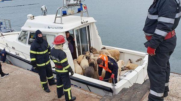 Die Rettung der Schafe am Montag