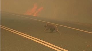Elpusztult a tűzből hősiesen kimentett koala