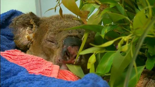 Nach spektakuärer Rettung: Koala Lewis musste eingeschläfert werden