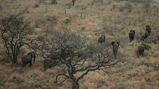 Moçambicanos salvam elefantes da extinção
