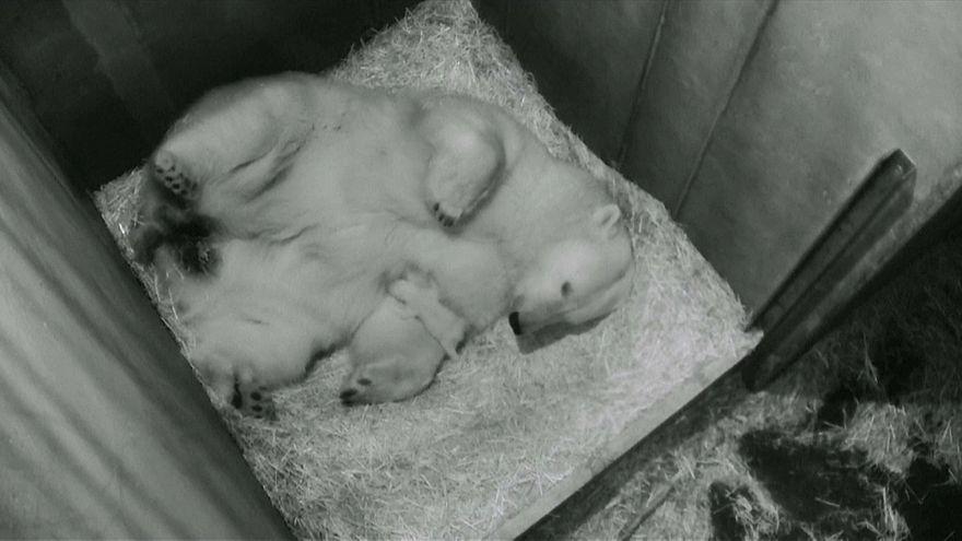 Dans le zoo de Vienne, en Autriche, un petit ours polaire est né