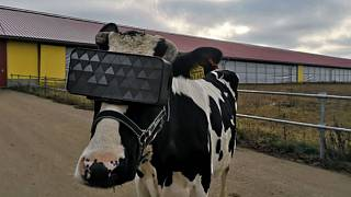 Подмосковные коровы протестировали очки виртуальной реальности
