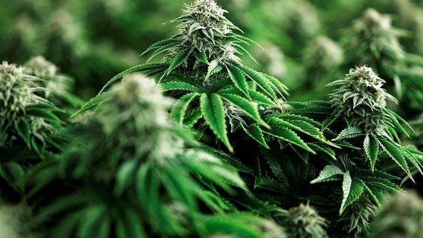 Marihuana-Pflanzen.