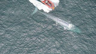 Синим китам измерили пульс