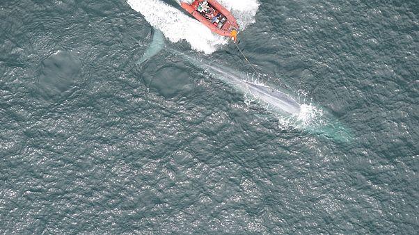 Άκουσαν για πρώτη φορά την καρδιά μιας γαλάζιας φάλαινας