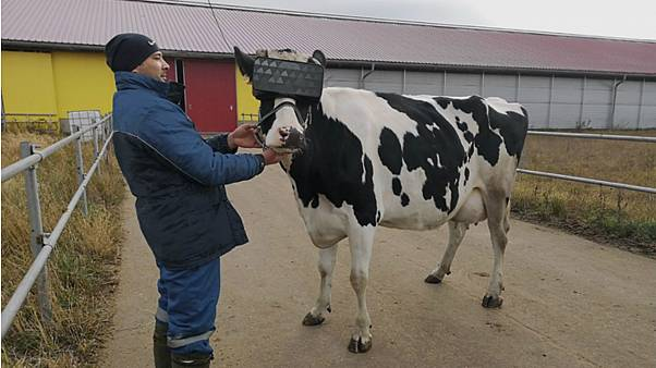 A prototype VR headset was tested on cows at a farm in Moscow