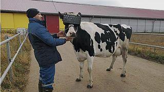 صورة لبقرة تم تزويدها بجهاز الواقع الافتراضي المعزز (VR)