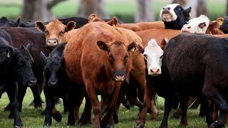 Süt üretimini artırmak için Rusya'da ineklere sanal gözlük takıldı