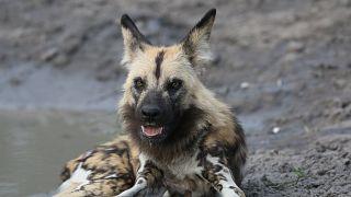 Sibirya'da 18 bin yıllık bozulmamış köpek fosili bulundu