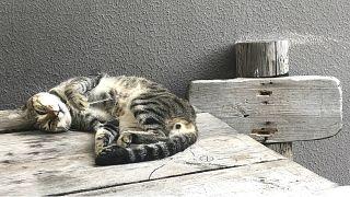 Vahşi yaşamın korunması için kedilere tasma takılmalı mı? AB 'hayır' dedi