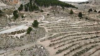 Un muro vegetal para frenar el avance del desierto en el sureste español