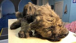 Dogor was well preserved in the permafrost of Siberia