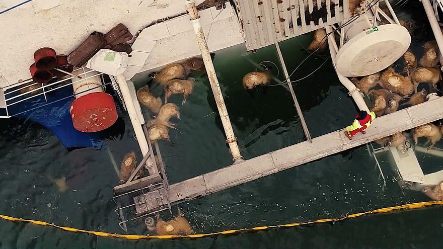 توقف عملیات نجات؛ بیش از ۱۴ هزار رأس گوسفند در دریای سیاه غرق شدند