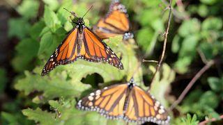 «پروانههای شهریار» با طی مسیر مهاجرت سالانه خود به مکزیک رسیدند