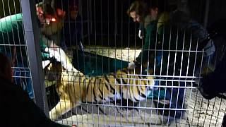 Ende des Horror-Trips von 5 Tigern quer durch Europa