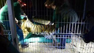 Cinco tigres rescatados en la frontera polaca viajan a Alicante