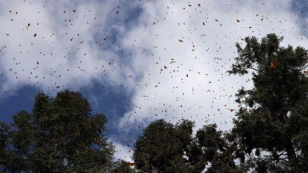 """Бабочки """"на могилах предков"""""""